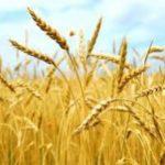 """Aquara. Convegno """"Dal grano alla farina. Valorizzazione della filiera produttiva"""""""